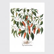 Plakat Piper Indicum